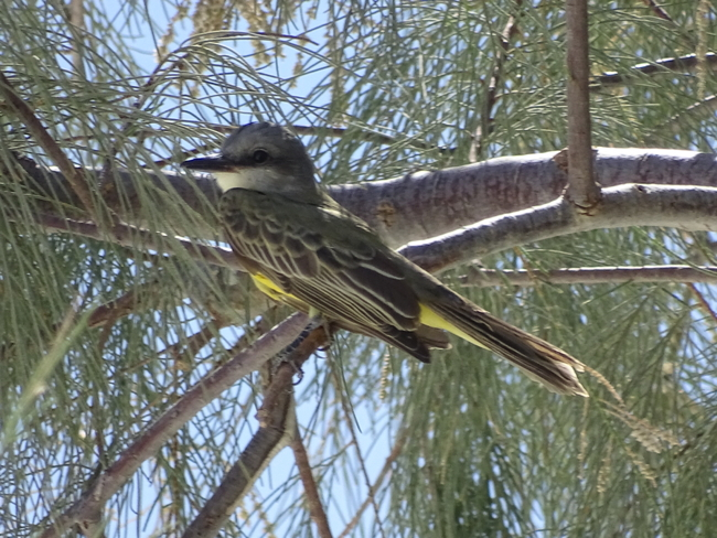 Tropical Kingbird, Stovepipe Wells, photo by Chris Howard