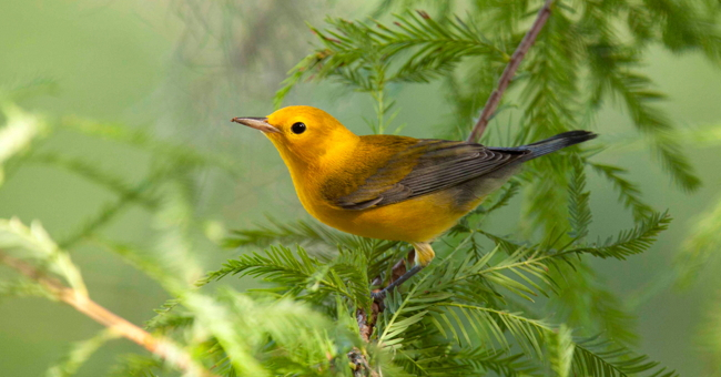 What Bird Are you? (photo of Prothonotary Warbler by Linda Steele)
