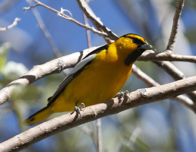 Bird of the Month for March-April: Bullock's Oriole