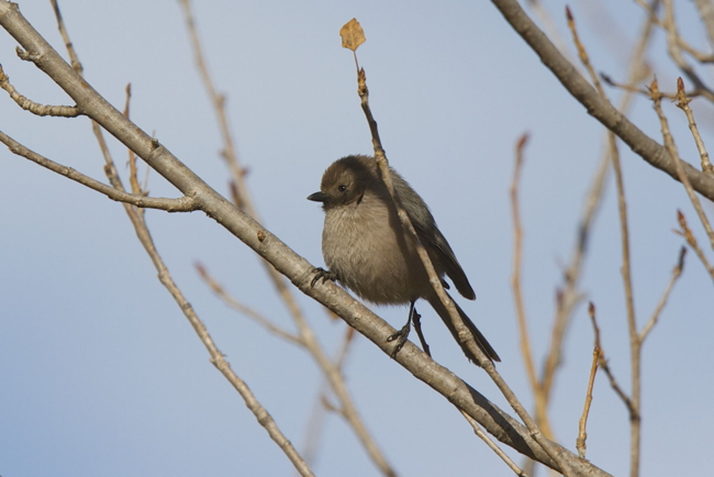 Bird of the Month for November: Bushtit