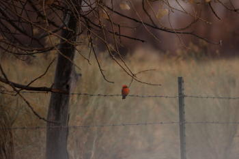 A Vermillion Flycatcher was a literal bright spot on the Christmas Bird Count