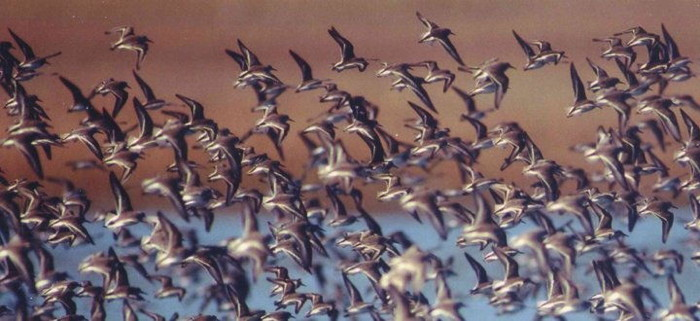 Western Sandpipers at Owens Lake, photo by Peter Knapp