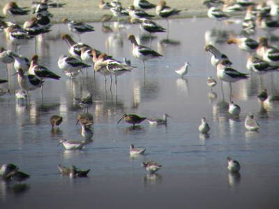 Mixed Shorebirds at Owens Lake