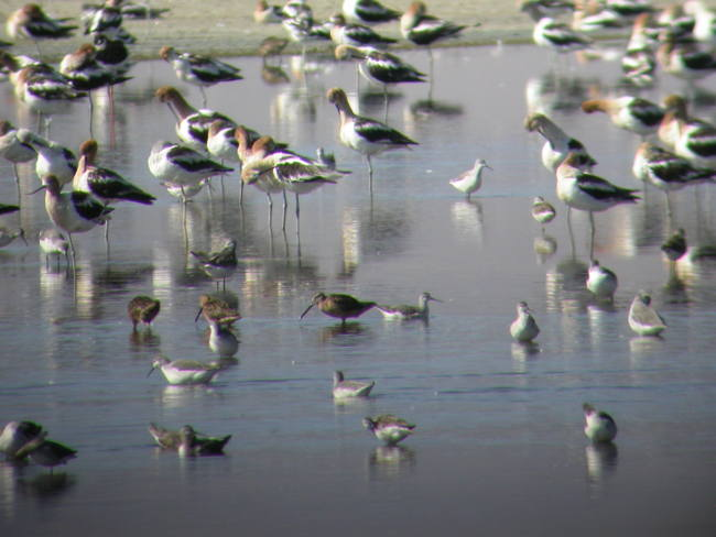 Mixed Shorebird Species at Owens Lake