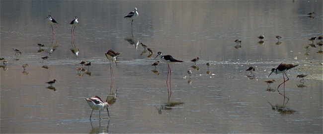 Avocets, Stilts and Peeps on Owens Lake