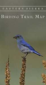 Mountain Bluebird male with food, Mono Lake County Park, June 2001. Copyright © Marie Read